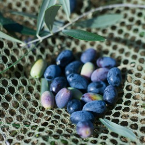 olive14